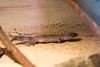 Leopardgecko (pashieno) Tags: hoyerswerda leopardgecko deutschland echsen lidgeckos reptilien zoo zootier