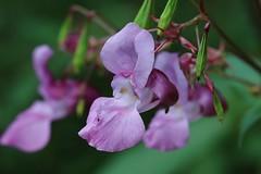 Blume (LuckyMeyer) Tags: springkraut blume blüte flower fleur impatiens touchmenot grün green rosa pink garden summer makro