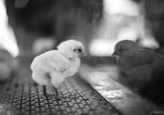 chick reflecting (Jen MacNeill) Tags: elizabethtown pa pennsylvania ag agriculture fair animal animals farm lancastercounty season bw blackandwhite bnw chick chicken egg chicks bird littledoglaughednoiret