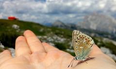 (mimu81) Tags: bellunese belluno dolomiti dolomites trekking summer mountains hiking nature butterfly animal