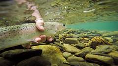 Fly fishing the North Skagit River (_Kickstand) Tags: britishcolumbia northskagitriver catchandrelease flyfishing