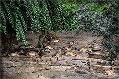 El cap i el seu ramat.  (Safari Fotogràfic) (Antoni Gallart i Vilarrasa) Tags: zoo zoològic zoológico cabras goat montesa montañera mountain d800 barcelona catalunya cataluña catalonia safari cabres jefe boss cap manada herd ramat