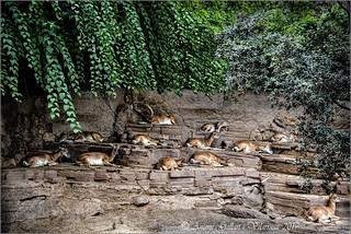 El cap i el seu ramat.  (Safari Fotogràfic)
