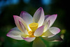Kenilworth Aqua-076-MLW-MLW (Mike L Washington) Tags: lotus nelumbonucifera aquatic flower sacredlotus