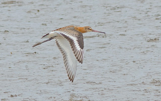 JWL3305  Black Tailed Godwit..