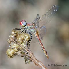 Dragonfly (F.Guirado) Tags: 2017 aspa lleida macro macrofotografia macrophoto closeup blur bokeh dragonfly libélula sympetrumfonscolombii odonata odonato nex6 nex sony sonyfe90mm 90mmfe 90mm wow