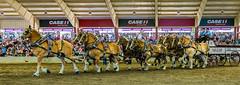 TEN HITCH! (carolea2014) Tags: belgiumhorses statefair tenhorsehitch activeassignmentweekly bestofweek2 bestofweek1 bestofweek3