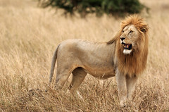 World Lion Day, 10th August (AnyMotion) Tags: worldlionday weltlöwentag 10thaugust2017 lion löwe pantheraleo male cat katze grassland 2015 anymotion serengetinationalpark tanzania tansania africa afrika travel reisen animal animals tiere nature natur wildlife 7d2 canoneos7dmarkii