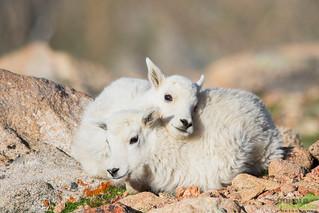 Mountian Goat kids, (Oreamnos americanus) Mount Evans, Colorado