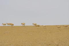 IMG_0409 (y.awanohara) Tags: antelope tibet tibetanantelope may2017 ngari