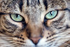 Chewbecca (vietta .) Tags: cat gatto tigrato soriano occhi verdi cute cucciolo gattino