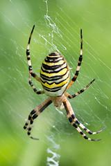 Heemtuin (Anieteke) Tags: heemtuin vlaardingen natuur nature macro fauna insect spider tijgerspin