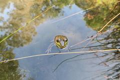 New York Botanical Garden (Kristine Paulus) Tags: newyorkbotanicalgarden nybgbronx plants summer horticulture frog nativeplantgarden urbanwildlife