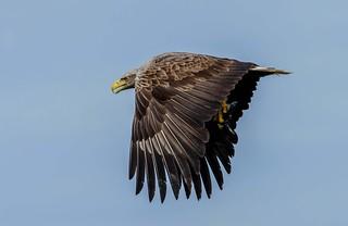 JWL0038 Sea Eagle...