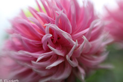 IMG_9473c (Barbara.Elizabeth) Tags: lensbaby composerprosweet50 pink bayardcuttingarboretum softfocus