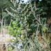 Gemeiner Beifuß (Artemisia vulgaris)