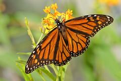 The King of Butterflies (Life of David) Tags: california camarillo canon5dmarkiv danausplexippus monarchbutterfly usa backyard beautiful beauty butterfly macro nature world100f