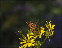 lady and the bee (montrealmaggie) Tags: bee flower yellow wing insect butterfly