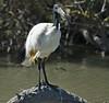 Threskiornis aethiopicus Saintes Maries de la Mer (Marc ALMECIJA) Tags: bird oiseau nature natur wildlife eau water pont de gau ornithologie sony rx10m3 exotique outside outdoor