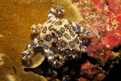 CelebesDivers - underwater 10 (Hapalochlaena lunulata)