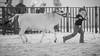 Pee Wee Mini Zebu Showmanship - Colorado State Fair (Christopher J May) Tags: adaptall nikond600 explored explore coloradostatefair pueblo colorado co miniaturezebu peewee showmanship bw monochrome cattle heiffer tamronsp180mmf25ldif