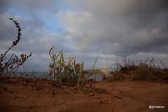 20170823 (josejuanmiranzo) Tags: liriodemar pancratiummaritimum arena playa beach calblanque cartagena murcia españa spain mediterranean mediterraneo mar sea paisaje landscape fotografia foto photo photography canon canon5d canonista canonist 365 365project jjmiranzo