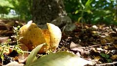 Ohio Buckeye (dankeck) Tags: broken cracked aesculus glabra nut shell buckeye tree park