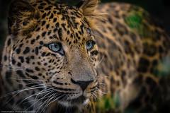 Leopard (Panthera pardus japonensis) (H.Roebke) Tags: de deutschland nature germany cat tier natur animal katze 2017 tierportrait hagenbeck portrait canon100400mmf4556lisiiusm tierpark zoo fauna canon7dmkii lightroom grosskatze