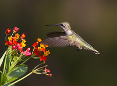 Ruby-throated Hummingbird (AllHarts) Tags: rubythroatedhummingbird backyardbirds memphistn nature challengeclubchampions naturescarousel ngc npc