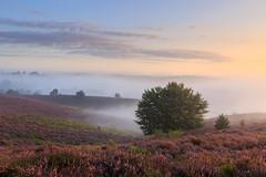 Heath fever | Heidekoorts (nldazuu.com) Tags: 4ekeer heidelandschap natuur natuurmonumenten landschap nldazuufotografeertcom heath davezuuring herikhuizerveld heide gelderland heather posbank rheden veluwezoom
