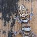 Madagascar Ground Gecko