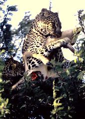 Panthera pardus pardus African Leopard (David A. Hofmann) Tags: feline cat kenya pantheraparduspardus africanleopard