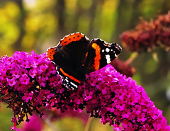 Red Admiral (Fr Paul Hackett) Tags: butterfly extra buddleia gardenflower contrejour kingussie