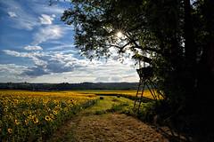 Le mirador d'affût (Excalibur67) Tags: nikon d750 sigma globalvision 24105f4dgoshsma paysage landscape ciel cloud sky nature nuages arbres trees tournesol sunflower soleil