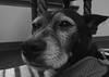 Mazie, at work. 24 (HX5V) (Mega-Magpie) Tags: sony dschx5v hx5 hx5v cybershot indoors mazie pet dog puppy bw black white mono monochrome cute she female