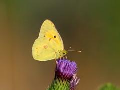 COLIAS CROCEA  CLOUDED YELLOW (quarzonero ...Aldo A...) Tags: coliascrocea cloudedyellow butterfly farfalla nature natura cardo flower coth sunrays5 coth5