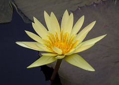 Yellow Water Lily (tresed47) Tags: 2017 201707jul 20170705longwoodflowers canon7d chestercounty content flowers folder july lily longwoodgardens macro pennsylvania peterscamera petersphotos places ringflash season summer takenby technical us waterlily ngc npc