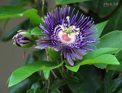Passiflora caerulea (DineshMunuswamy) Tags: canon canon1300d chennaiphotography omrroad passifloracaerulea
