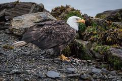 Bald Eagle (Turk Images) Tags: baldeagle britishcolumbia haliaeetusleucocephalus princerupert accipitridae birds eagles coastal marina marine spring