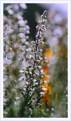 Erika (Harald52) Tags: heidekraut erika pflanze natur