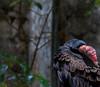 20170820-0I7A0491-Cathartes (siddharthx) Tags: singapore sg cathartes birdsofprey canon7dmkii nature ef100400mmf4556lisiiusm jurongbirdpark aviary bigbirds largebirds
