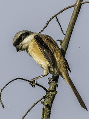Long-tailed Shrike 170827 Cape Nanhui China -32 (tjhurley) Tags: asia birds capenanhui china flickr laniusschach longtailedshrike perchingbirds shanghai