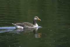 Grey Lag Goose (Anser Anser) (IAN GARDNER PHOTOGRAPHY) Tags: bird goose nature wildlife wildfowl brandonmarsh anseranser greylaggoose