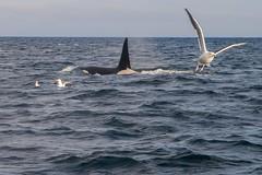 Feeding Frenzy (wittmann.photography) Tags: orca whale norway lofoten arctic cruise animal birds water travel sea blue nature adventure canon