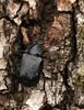 Gnorimus variabilis (Linnaeus, 1758) (OttoB-C) Tags: gnorimus variabilis cetoniinae scarabaeidae