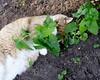 Ziggy Cat - Catnip Antics 6-1-17 19[Crop] (anothertom) Tags: cats ziggycat catnip catnipplant yard funnycat peek sonyrx100ii 2017