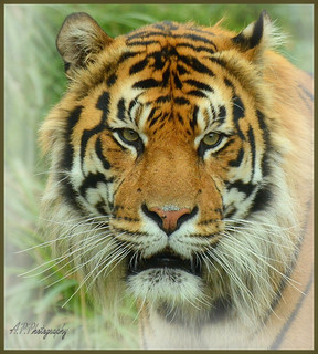 14.09.17 ZSL London Zoo..Tigerrrrr :)