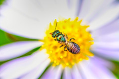 Green Bee fly (f.tyrrell717) Tags: green bee fly polinator bug whit bog nj 080158 pine barrens