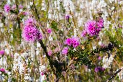 Sea of wildflowers (LSydney) Tags: flower wildflower kunzea epacris coralheath northhead