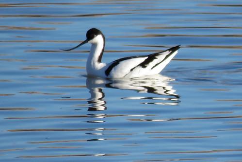 21 - AVOCETA COMÚN (Recurvirostra avosetta) - JUAN LUIS REDAJO SANTIAGO